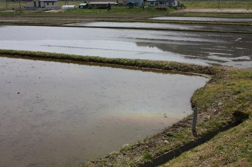田んぼの水面に映る虹