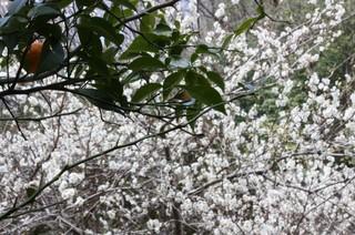梅の花と柚子
