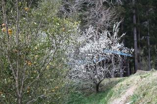 春と秋のコラボ(梅の花と柚子の競演)