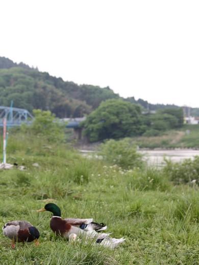 岸辺のカモ