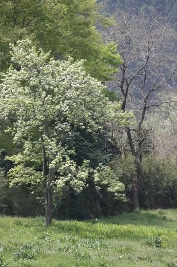 川沿いの畑に咲く緑の桜(全体像)