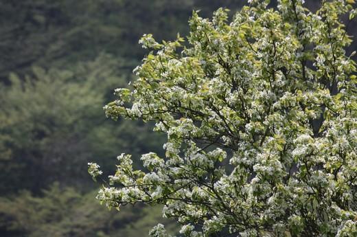 川沿いの畑に咲く緑の桜