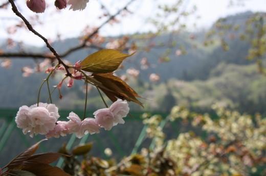 鉄橋傍に咲く八重桜