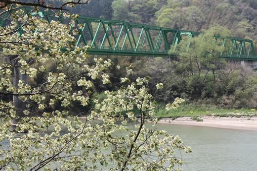 川岸に咲く緑の桜