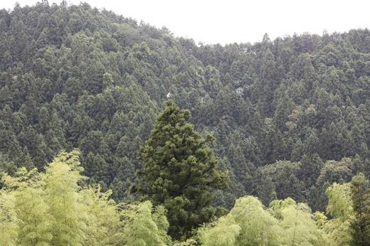 杉の木の上にいるものは(1)