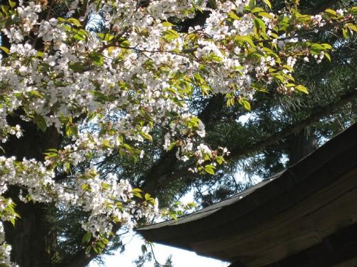境内の山桜