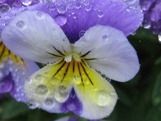 雨の中のスミレ(2)