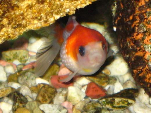 ピンポンパール(金魚)