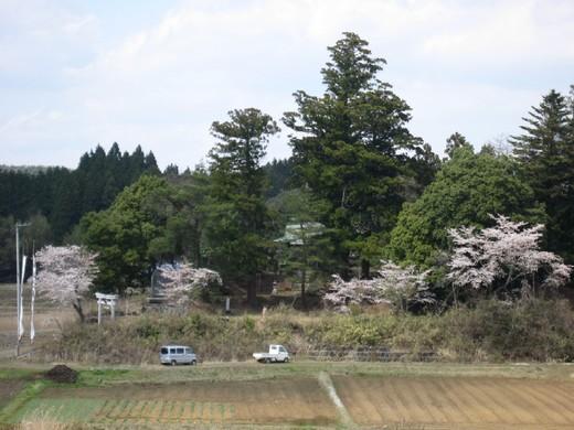 お祭の日の神社周りの桜