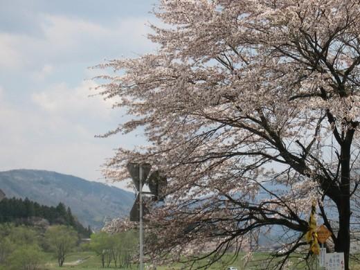芽吹く緑と桜