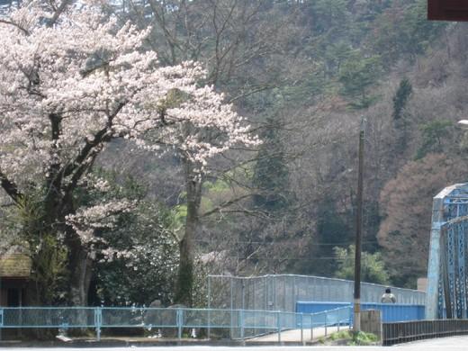 丸森橋たもとの桜