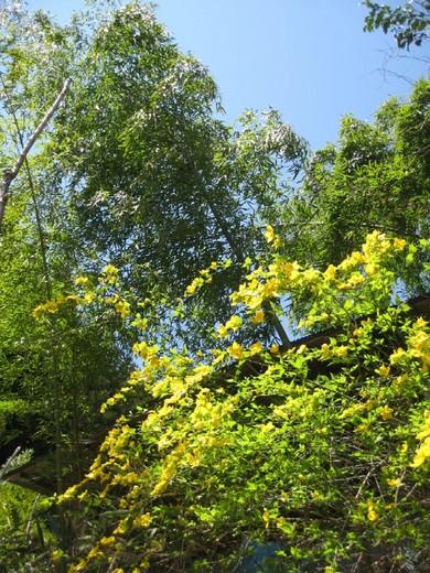 春の日差しに輝く山吹