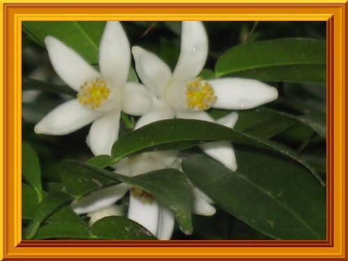 春の花5 柚子です