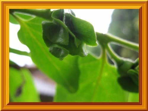 春の花7 柿です